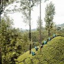 Communitea Sachet Kandy Gember & Citroengras