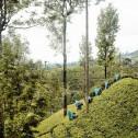 Theekist bamboe gevuld met thee
