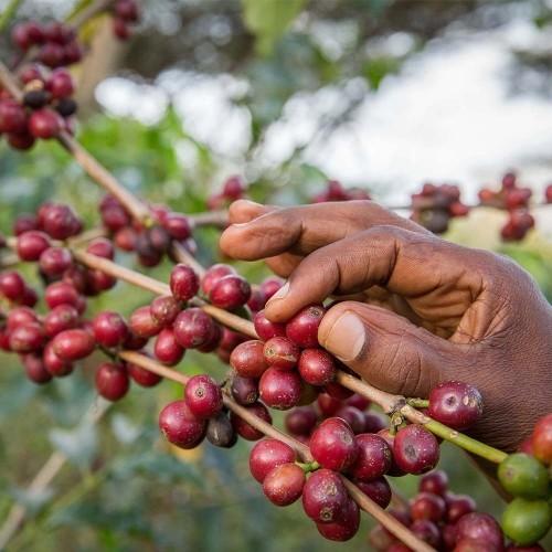 Single Origin koffie uit Ethiopië: Probeer nu de Best Collect Yirgacheffe